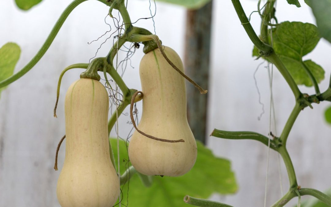 Protected: Butternut Squash